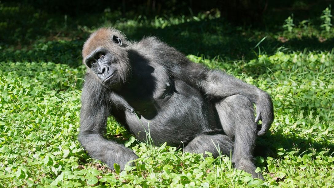 1491334216-bronx-zoo-gorilla-tickets